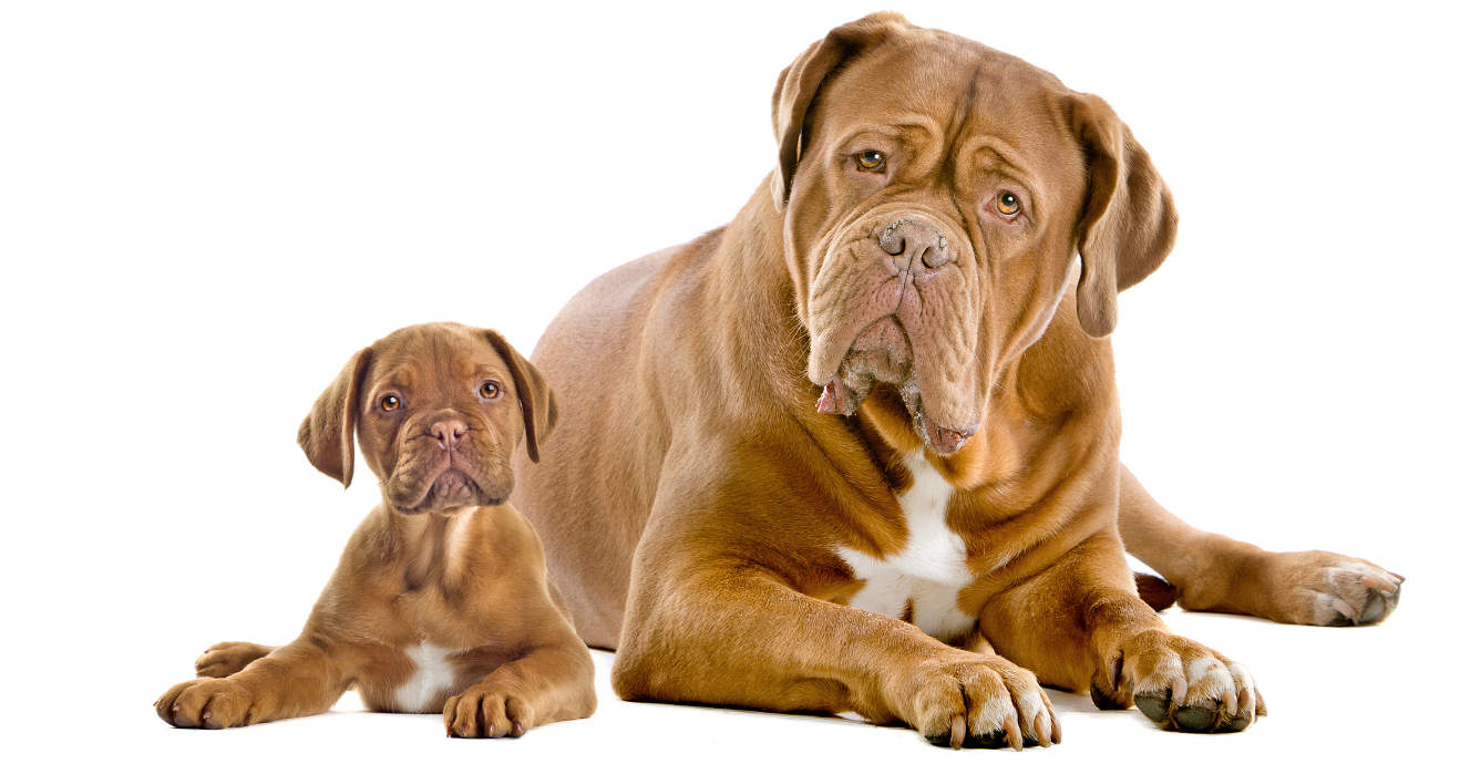 dogue-mum-and-pup