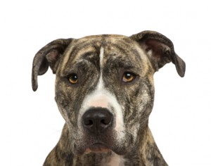 American Staffordshire terrier (18 months) in front of a white background