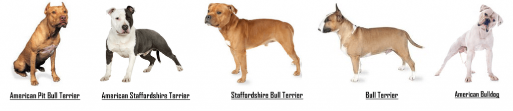 pit-bull-breeds