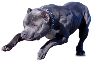 pitbull-dog-breed-pics