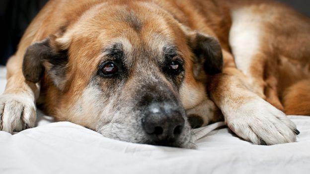 Cane con dolori